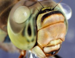 Close up dragonfly face