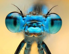 Blue insect eyes
